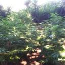 Somma Vesuviana – arrestato 63enne mentre riduce in dosi 4 chilogrammi di marijuana