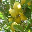 Lemon Day a Cetara, degustazioni per tutti