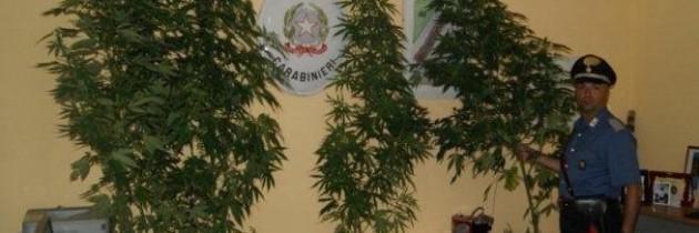 A Paduli i militari sequestrano 4 piante di marijuana