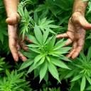 Agerola. Sequestro di piante di marijuana