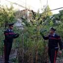 Bacoli: Carabinieri trovano 5 piante di cannabis alte 2 metri e 2 doppiette illegali a casa di un 63enne; arrestato